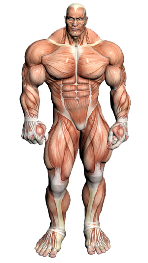 A slightly exagerrated frontal muscular anatomical drawing.  Presumably, JUST THIS KIND OF THING was what Gibbon was meaning to avoid when talking about specific details of his male/female friends appearances.  Gibbon definitely felt talking about the firmness of a mans calves was - too much information.  Luckily for us Sidonius Appolinaris did NOT hold the same opinion, and we have a detailed (but embarrassing to Gibbon)  description of the Visigothic King Theodoric saved in one of Sidonius's letters